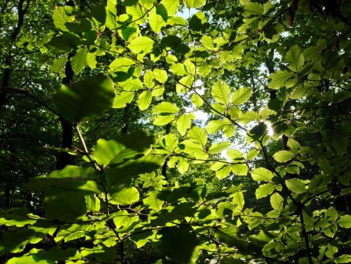 Hildegard von Bingen Pilgerwanderweg, 7. Etappe, Blätter, Sonne, Lichtspiel, grün