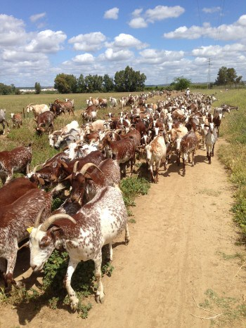 Ziegenherde als Gegenverkehr auf dem Jakobsweg, Via-de-la-Plata