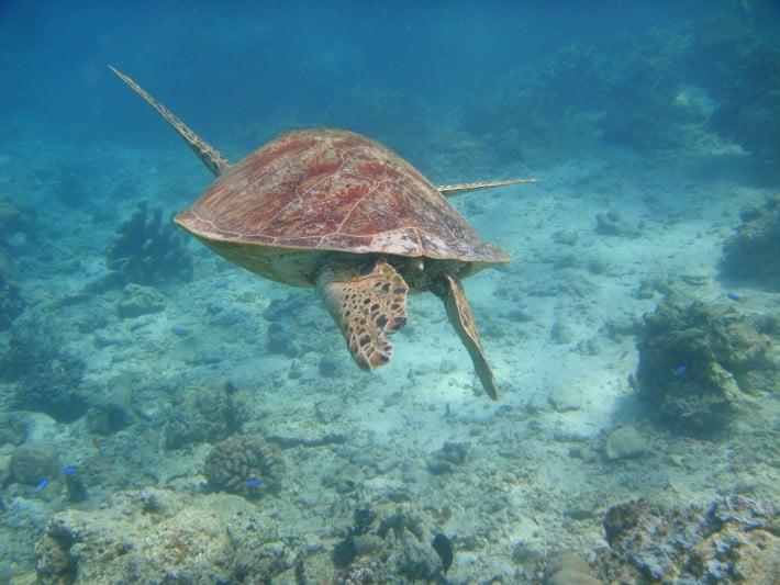 Schildkröte unter Wasser, Borneo - Sipidan
