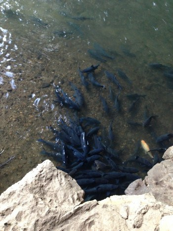 Cave Lod Fische