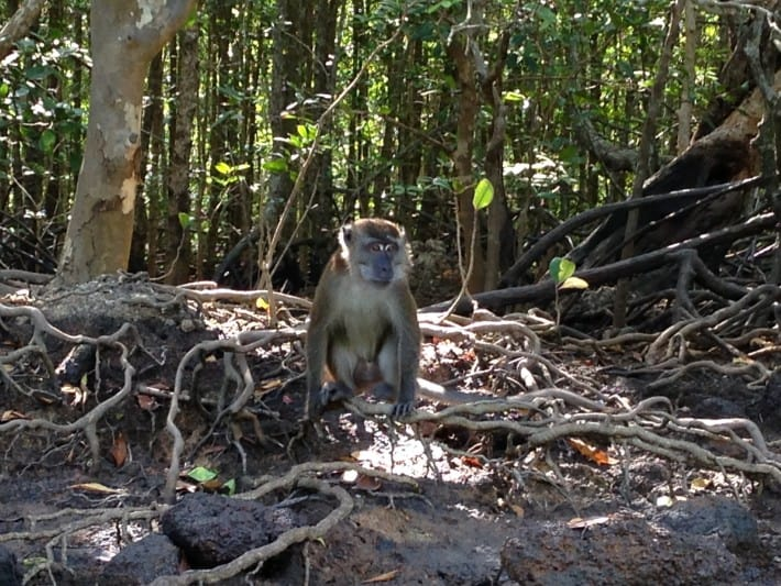Monkey im Mangrovenwald
