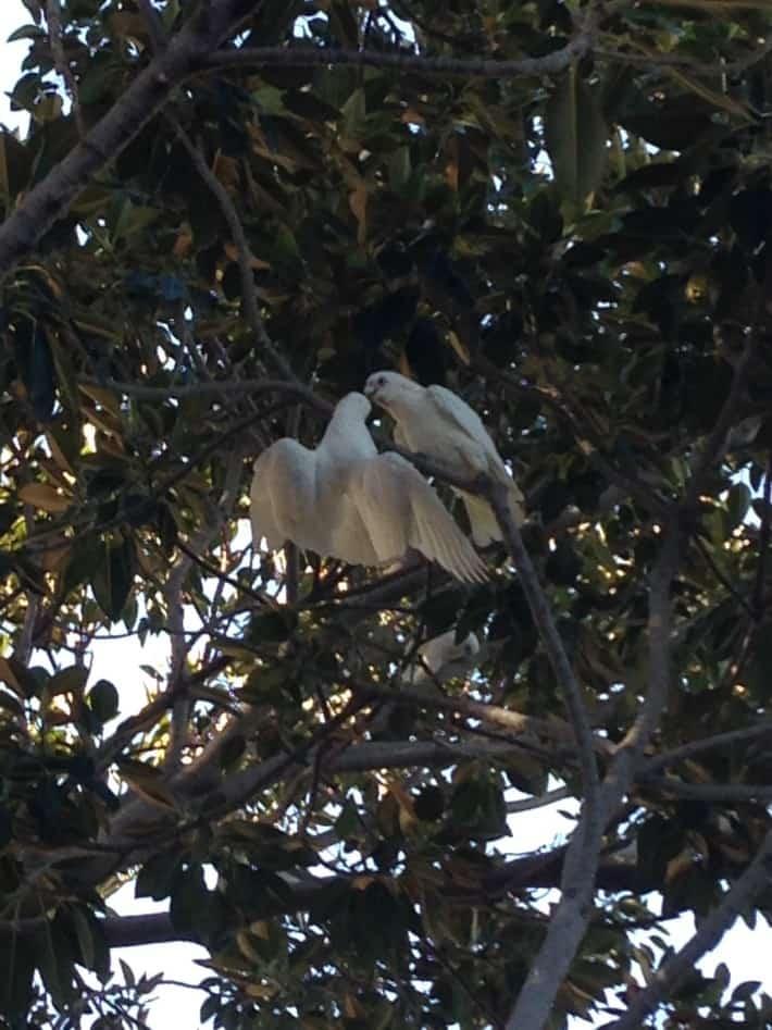 Kakadus in Busselton