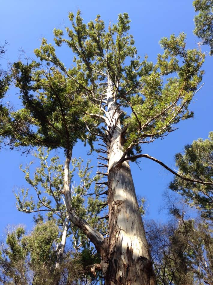 Boorara Tree