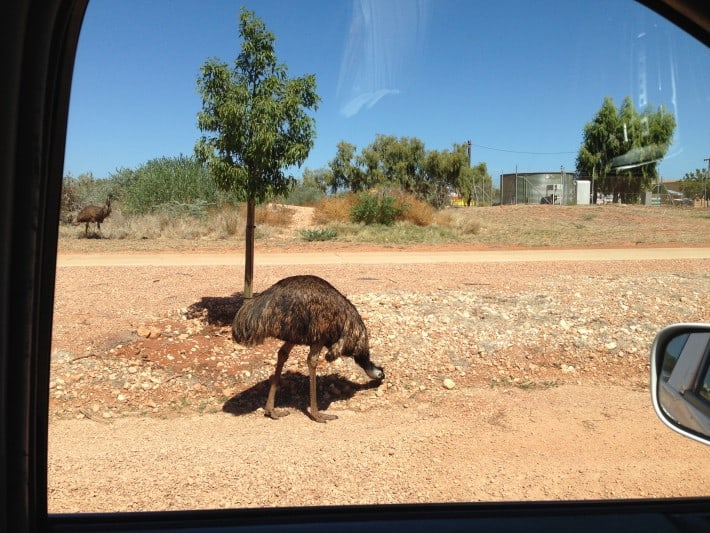 Emus on the way
