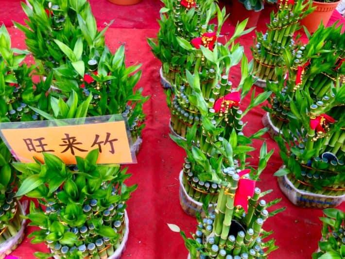 Glücksbambus zum Chinese New Year