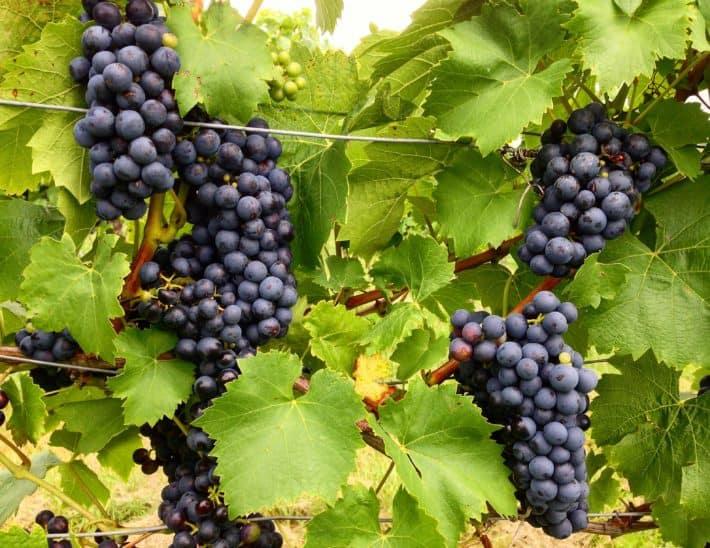 Weintrauben, Weinstöcke, rot am 3. Tag vom Hildegard von Bingen Pilgerwanderweg