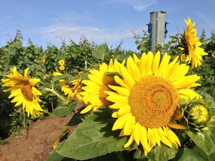 Sonnenblumen zwischen den Weinbergen auf dem Hildegard von Bingen Pilgerwanderweg