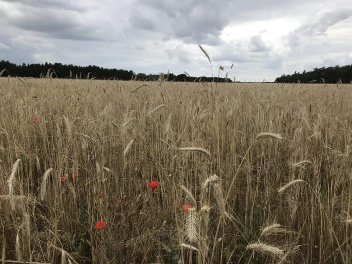 Felder, Getreidefelder, Mohnblume, 2. Etappe der Via Imperii