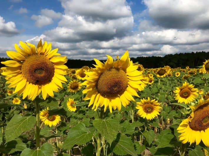 Sonnenblumen, Sonnenblumenfeld, Brandenburg, 3. Etappe Via Imperii